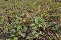 Achyranthes aspera - Agri-Horticultural Society of India - Alipore - Kolkata 2013-01-05 2315.JPG