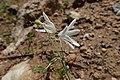Acis trichophylla kz05 Morocco.jpg