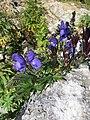 Aconitum napellus plant (15).jpg