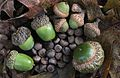 Acorns small to large cropped.jpg