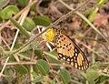 Acraea serena HotMarina 2012-01-15 uns.jpg