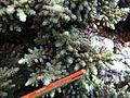 Acropora longicyathus, coralitos.JPG