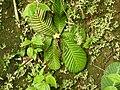 Acrotrema arnottianum-4-peppara wildlife-kerala-India.jpg
