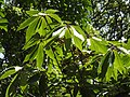 Actinodaphne bourdillonii Andiparai DSCN0472.JPG