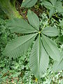 Aesculus flava 01 by Line1.jpg