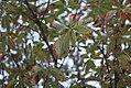 Aesculus hippocastanum - Divlji kesten (1).jpg