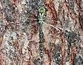 Aeshna cyanea - young female (aka).jpg
