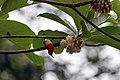 Aethopyga siparaja seheriae Panchkhal.JPG