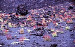 Aetna-174-Sauerampfer-1986-gje.jpg