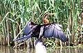 African Darter (37471446894).jpg