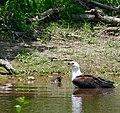 African Fish Eagle (Haliaeetus vocifer) after missing a fish ... (50114566067).jpg