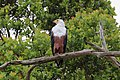 African fish eagle, Lake Saint Lucia estuary 01.jpg