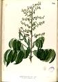 Aganope thyrsiflora Blanco2.336-original.png