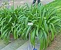 Agapanthus africanus leaves.jpg
