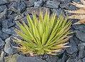 Agave toumeyana in Dunedin Botanic Garden.jpg