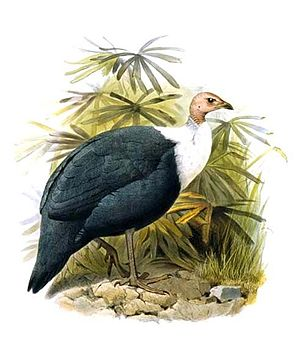 White-breasted guineafowl