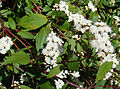 Ageratina riparia, known as Spreading Snakeroot. (9203987073).jpg