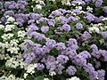 Ageratum from Lalbagh flower show Aug 2013 7977.JPG