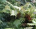 Aglaomorpha meyeniana BotGardBln07122011B.jpg