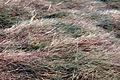 Agrostisviridis.jpg