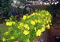 Allamanda flowers 2.JPG