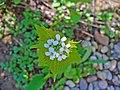 Alliaria petiolata 002.JPG