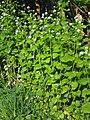 Alliaria petiolata Czosnaczek pospolity 2020-04-30 02.jpg