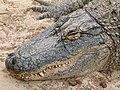 Alligator mississippiensis - Oasis Park - 10.jpg