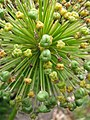 Allium 'Purple Sensation' Czosnek 2010-06 04.jpg