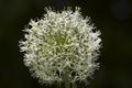 Alliumstipitatum-20120527i.png