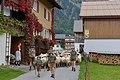 Almabtrieb der Schafe 2014 in Schoppernau 08.JPG