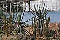 Aloe suzannae Brest.jpg