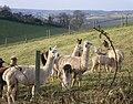 Alpaca flock at Penvith Farm - geograph.org.uk - 1103783.jpg