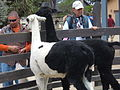 Alpacas at SF Zoo.JPG