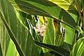 Alpinia zerumbet 36zz.jpg