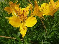 Alstroemeria aurea 'Peruvian lily' (Alstroemeriaceae) flower.JPG