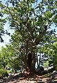 Alter Baum auf Stora Fjäderholmen.jpg