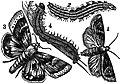 AmCyc Cotton Worm.jpg