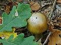 Amanita phalloides Kiev1.jpg