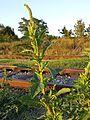 Amaranthus powellii subsp. powellii sl8.jpg