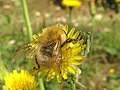 Amarillos sobre verde - abejorro (15406004992).jpg