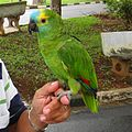 Amazona aestiva -pet perching on hand-8b-4c.jpg