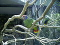 Amazona brasiliensis -zoo-8a.jpg