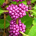 American Beautyberry (1002937481).jpg