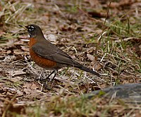 American Robin at Beacon Hill Park.jpg