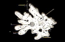 Anatomy of an amoeba