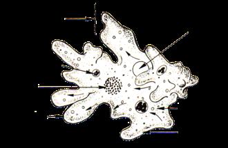 Holozoic nutrition - Amoeba, Entamoeba histolytica uses holozoic nutrition.