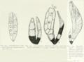 Amorphomyces falagriae.png