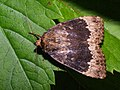 Amphipyra perflua - Гладкая совка буро-серая (39246368760).jpg