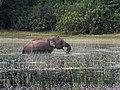An Elephant in a villu.jpg
